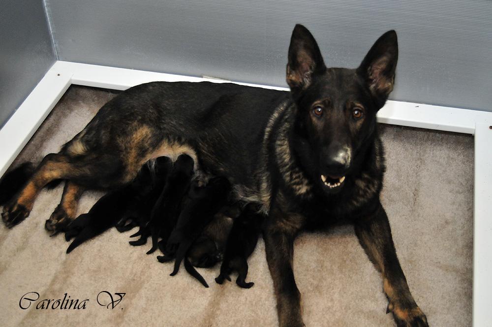 Buy german shepherd puppies in virginia