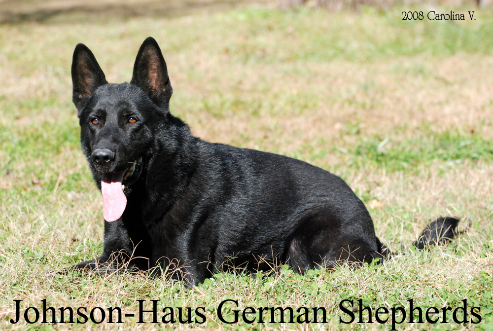 Johnson Haus German Shepherd Breederdog Trainer Frederick Maryland